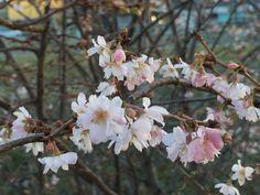 Quelques fleurs de #cerisier dans l'#hiver parisien #Prunus #arbre http://www.pariscotejardin.fr/2017/01/quelques-fleurs-de-cerisier-dans-l-hiver-parisien/