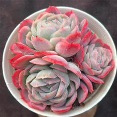 Echeveria Mexican Rose Grab your rare succulents online. Worldwide Shipping. Use Discount code: E10PER We bring joy to your home gardening experience. aPlanter.com Succulents Online, Succulents For Sale, Rare Succulents, Planting Succulents, Planting Flowers, Best Indoor Plants, Outdoor Plants, Air Plants, Outdoor Gardens