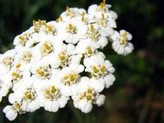 Yarrow is something of a miracle plant, it's good for the liver, the lungs, and the kidneys. Made into a tea, it is also used for fevers, colds and flu. It reduces swollen organs, varicosities, aids circulation, and prevents thrombosis. It is high in flavenoids, an antioxidant. It can give relief from cystitis, kidney stones, and bladder infections. It is, also, a tonic for the nervous system. As a matter of fact, there is hardly a condition for which this wonderful herb is not