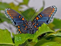 red spotted purple butterfly - Google Search