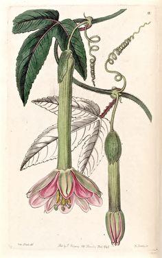 Banana Passionfruit | Edwards's Botanical Register v.32- t.11 (1846) [Sarah Ann Drake]