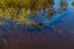 Everglades Female Alligator by Michal Valenta on 500px