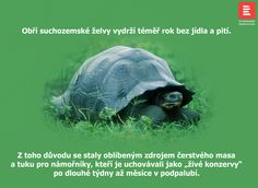Obří suchozemské želvy vydrží bez jídla a pití skoro rok.