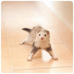 Oscee looks just like this when he's about to go into crazy ferret mode.