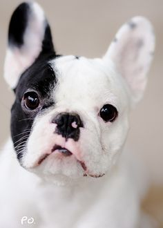 Black & White Pied French Bulldog Puppy / Chiot bouledogue français