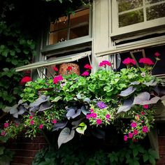 Window Boxes gorgeous window box of geraniums, calibrachoa, johnny jump - ups, verbena & sweet potato vine Container Plants, Container Gardening, Outdoor Plants, Outdoor Gardens, Coleus, Window Box Flowers, Flower Boxes, Window Planter Boxes, Garden Windows