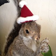 I found this Santa hat dumpster diving. I thought I would wear it for the Christmas season.