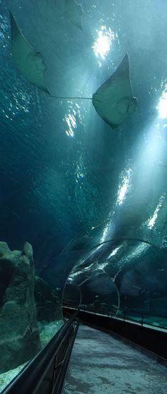 #Tunel #subaquatico e #arraias do #AquaRio - O maior #AquarioMarinho da #AmericadoSul. Photo: #AlexandreMacieira | #RiodeJaneiro #Brasil