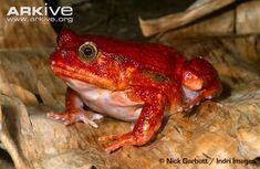 Tomato frog - View amazing Tomato frog photos - Dyscophus antongilii - on Arkive Amphibians, Madagascar, Drake, Odd Animals, Frogs, Crazy Animals, Combat Boots