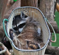 Tvättbjörn tar en välbehövlig tupplur i korg. Cute Baby Animals, Animals And Pets, Funny Animals, Strange Animals, Cute Raccoon, Racoon, Beautiful Creatures, Animals Beautiful, Beautiful Images
