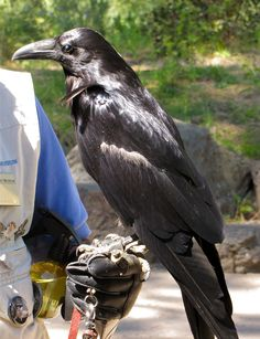 (Artists and writers going for corvid realism, take note: Full-grown common ravens are closer in size to large hawks than to pigeons.)
