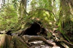 Wilson Stump on Yakushima Island, Japan has a hole as huge as a cave and is covered on moss, but the real surprise is inside.