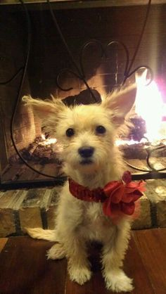 terrier haircuts my malchi or chihuahua maltese mix is two years now 1103