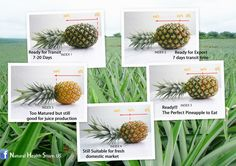 CHOOSE THE PERFECT PINEAPPLE  /#Natural#Sunshine#Favorite#Alternative#Medicine#Health#Beauty#New#food