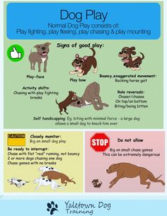 There is nothing better for dog lovers than watching dogs play. However, dog owners can be confused about dog play. Are those dogs playing? Or are they fighting? Learning what to look for can help people to become comfortable with full on dog play. All animals play. Play allows animals to practice the skills they will need to survive. Dogs are no different and normal dog play consists of playful versions of standard, run-of-the-mill dog behaviours. These include: Play Fighting (there