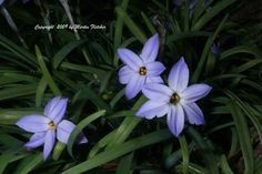 Ipheion uniflorum blooms in the depths of Winter in our gardens.  The Spring Star flower is just a little earlier than its name might indicate.  Blooms can occur from Fall to mid Spring.  I use Ipheion uniflorum for a little color in a lawn, or for a surprise element in the garden.  The bulbs do quite well without additional irrigation.  So I plant them along pathways or in a lawn where I want the meadow look.  This photo was taken in at the base of a large liquidamber in February, though the plants do equally well in full sun.  Ipheion uniflorum is hardy well into the single digits.