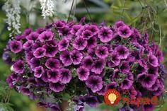 Tajomstvo úspechu pri pestovaní petúnie je jednoduché: veľká kapacita + dostatočné napájanie + odstránenie vyblednutých kvetov.    1. Koreňový systém petúnie je veľmi silný, takže potrebuje veľa pôdy: 5 litrov pôdy na rastlinu. Kontajner alebo nádobu s Landscape Design, Garden Design, Outdoor Plants, Trees To Plant, Container Gardening, Wild Flowers, Planters, Home And Garden, Gardens