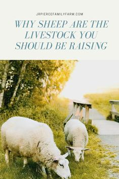 Thinking about adding new livestock to your farm? If so you should consider raising sheep. Sheep can be raised for milk meat wool and many other purposes. Read on for the top tips and advice for raising any kind of sheep! Raising Farm Animals, Raising Goats, Raising Chickens, Pet Sheep, Sheep Farm, Sheep Wool, Baby Sheep, Sheep House, Sheep Breeds