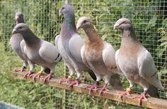 dutch beauty homer pigeon breeds Pigeon Breeds, Dutch, Animals, Beauty, Animales, Dutch Language, Animaux, Animal, Animais