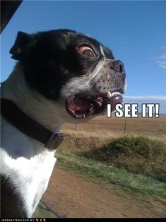 Boston Terrier Funny