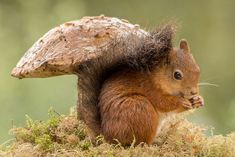Adorable Red Squirrel Photos Reveal Their Playful Personalities Nature Animals, Animals And Pets, Baby Animals, Funny Animals, Cute Animals, Wild Animals, Cute Creatures, Beautiful Creatures, Animals Beautiful