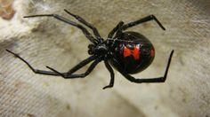 10. Black Widow Spider 10. Black Widow Spider Their bites are said to be 15 times more toxic than a rattlesnake, but luckily enough for humans they are very timid and their first defense is to play dead.