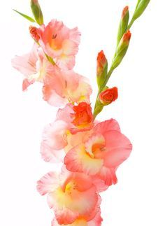 watercolor painting of gladiolus | watercolor painting - ideas and inspiration