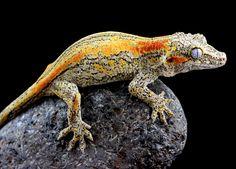 Gargoyle Gecko. Photo by Dagan Legg.