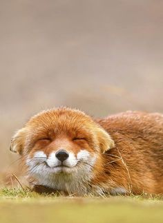Cute Fox Smiles Picture