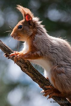 A red squirrel in the Cairngorms National Park of Scotland. ❤༻ಌOphelia Ryan ಌ༺❤ Animals And Pets, Baby Animals, Funny Animals, Cute Animals, Hamsters, Rodents, Beautiful Creatures, Animals Beautiful, Cairngorms National Park