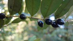 Black Plum - Diospyros australis #2
