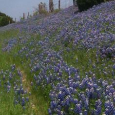 Bluebonnets in Weatherford Texas.