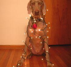 "Decorating Gustav for Christmas by Michaelâ""¢, via Flickr"