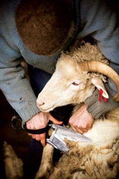 -shearing..
