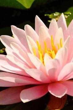 Explore Lotus Flower iPhone Wallpaper on WallpaperSafari Pink Lotus Wallpaper, Iphone Wallpaper Themes, Flower Iphone Wallpaper, Apple Wallpaper Iphone, Flower Backgrounds, Pink Petals, Flower Petals, White Lotus Flower, Lotus Flowers