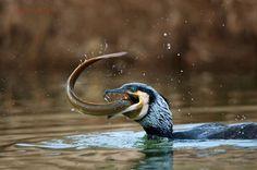 Il cormorano ! predatore infallibile  Photo by Nello Alberti -- National Geographic Your Shot