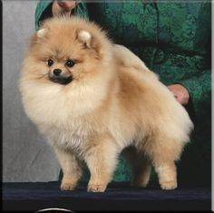 "GCh. Char's Designed Just For Me ""Vera""Chars Pomeranians"