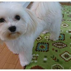 天気悪かけん…… お散歩は休みバイ❗ #おはようございます  #相棒#わんこ#🐶#はじめ君 ♂ #生後10ヶ月  #ミックス犬 #マルチーズ#ミニチュアダックスフンド #愛犬#dog🐶  君のおかげで毎日たのしい(^_^) 今日は…留守番ヨロシクねッ❗