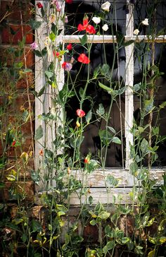 Sweet pea climbing vines cover the window of a potting shed at Longue Vue House and Gardens, a National Historic Landmark in New Orleans, Louisiana.  Longue Vue features Classical Revival style buildings and landscaped gardens, magnificent collection of European and American decorative and fine arts, museum exhibits, tours, educational programs, and a museum gift shop.