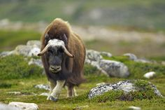 Young Musk Ox by tw1965