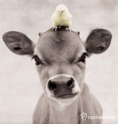 Adorable Animals & Amazing Pets Inspiration Pictures chick and cow baby adorable Cute Baby Animals, Farm Animals, Animals And Pets, Funny Animals, Wild Animals, Cute Creatures, Beautiful Creatures, Animals Beautiful, Beautiful Boys