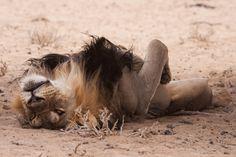 The dark-maned king of the Kalahari having a lie down.