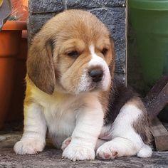 Beagle puppy - @beagles_halbach