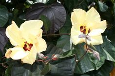 cottonwood hibiscus flowers You are in the right place about tropical garden ideas plants Here we of Tropical Nursery, Parts Of A Flower, Perth, Brisbane, Garden Maintenance, Hibiscus Flowers, Sunshine Coast, Tropical Garden, Garden Landscaping