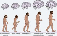 Australopithecus robustus, homo habilis, homo erectus, homo sapiens neanderthalensis, homo sapiens sapiens all walking to show their height and structure, as well as diagrams of their brains above each with the cortex coloured, to show how the brain increased in size.
