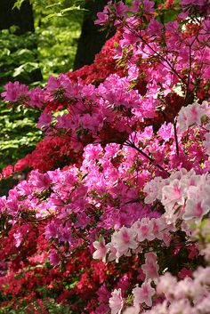 Azalea - symbolizes temperance, passion, womanhood, take care of yourself for me, and fragility.