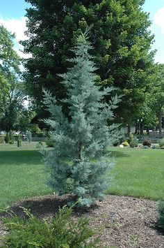 Click to view full-size photo of Blue Pyramid Cypress (Cupressus arizonica 'Blue Pyramid') at Flagg's Garden Center