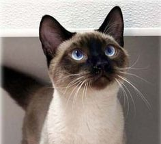 Persian Cat Doll Face seal-point-siamese - Hold your breath; this is Nutmeg the cat, a old cat, probably the oldest living cat in the world. Cats are not known to have a longer lifespan. Siamese Kittens, Kittens Cutest, Cats And Kittens, Tabby Cats, Cats 101, Funny Kittens, Bengal Cats, White Kittens, Cute Kittens