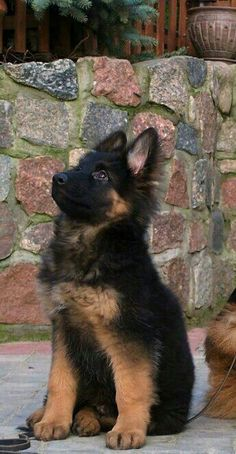 Wicked Training Your German Shepherd Dog Ideas. Mind Blowing Training Your German Shepherd Dog Ideas. Animals And Pets, Baby Animals, Funny Animals, Cute Animals, Animals Planet, Funny Dogs, Loyal Dog Breeds, Loyal Dogs, Beautiful Dogs
