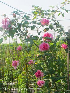 Hoa hồng leo Hồng Tâm 05 đạt11/15 điểm ở bảng tổng sắp có màu hồng đậm quyến rũ, cánh xoáy duyên dáng. Hoa to lên đến 16 cm, dày cánh, số lượng cánh hơn 50 lớp. Hồng Tâm cực siêng hoa và sai hoa. Cây có hoa liên tục quanh năm, kể cả mùa hè nắng nóng. Hồng Tâm có hương thơm nhẹ - Hình ảnh được chụp tại TRANG TRẠI HOA CÂY CẢNH THĂNG LONG